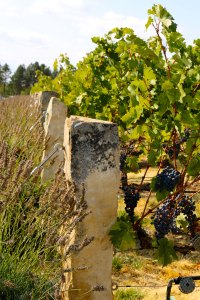 Basalt vertical slabs mark each row of grapes. (Photo by TTuttle)
